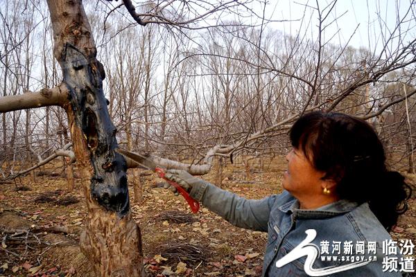 桥接,是挽救苹果树因腐烂病危害、避免死枝毁树最为有效的一项技术措施。桥接技术通过果树枝条进行嫁接,成活后直接给果树顶部枝叶、挂果输送营养,延长树龄。图为给果树病患处抹药。黄河新闻网临汾频道 郝华林 摄  桥接时,可以充分利用病果树自身聚生出的新枝条进行,当病树基部萌生新梢后有选择地留取,在生长季节及时去除分枝,提高枝条成熟度。黄河新闻网临汾频道 郝华林 摄  但适合桥接的新生枝条不一定够多,从生产实践看,苹果树桥接大多数是采取两头接,因而就需要提前准备好接条。准备接条应在果树冬剪时进行,将发育粗壮、成熟